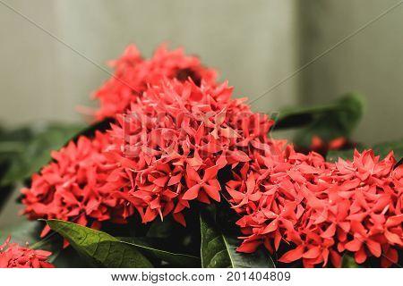 Red flower spike Rubiaceae Ixora coccinea in the garden