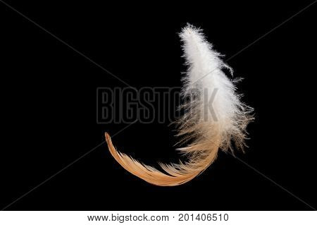 Fluffy bird feather falling on a black background.Swan feather isolated on a black background