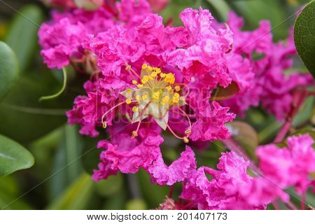 a beautiful pink flower isolated in the garden