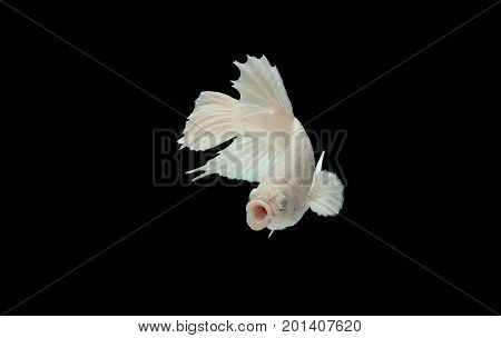 White Betta fish opening its mouth and facing to camera. Also known as fighter fish fighting fish Siamese fighting fish isolated on black background Pla-kad biting fish Thai Clipping path included