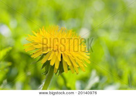 Beautiful dandelion flower close up