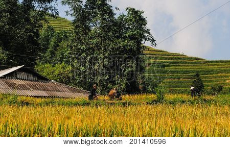 Landscape Of Terraced Rice Field In Vietnam