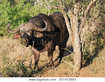 Old cape buffalo with restricted eye sight