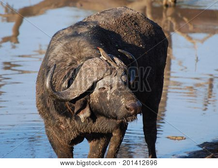 Old cape buffalo with oxpecker on its head