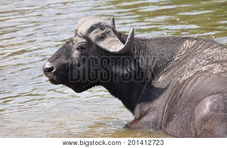 close-up of a male Cape buffalo relaxing in river