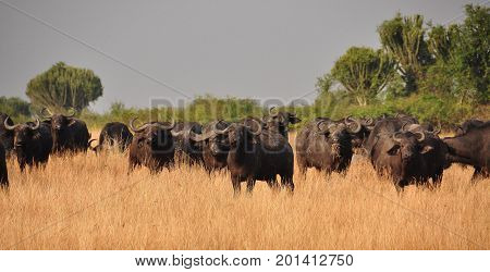 Herd of cape buffalo, interested in our vehicle