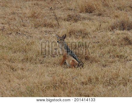 Black-backed jackal sitting in the field looking attentive