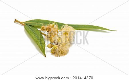 Eucalyptus green leaves on a white background