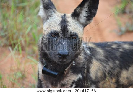 African Wild Dog, close-up of a collared dog.