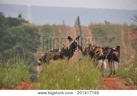 Collared African Wild Dog, looking at me, but at ease.