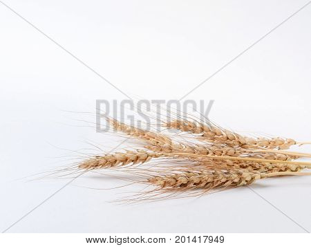 bunch of wheat spikelets on white background