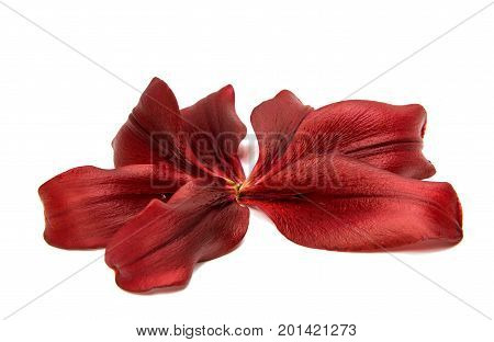 Red lily petal isolated on white background