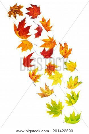 Isolated falling leaves. Colorful maple leaves in the air isolated on white background with clipping path