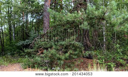 Forest landscape with pine and birch on a summer day. Green branches of pine needles close-up