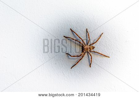 Rain Spider climbing up a white stucco wall on a house in Montagu in the Western Cape province of South Africa