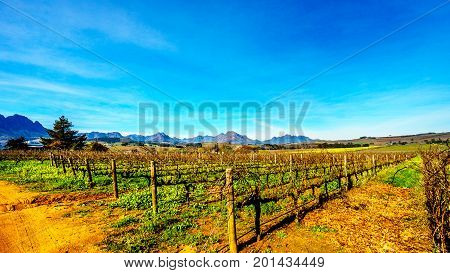 Vineyards in the wine region of Stellenbosch in the Western Cape of South Africa with Simonsberg in the background on a nice South African winter day