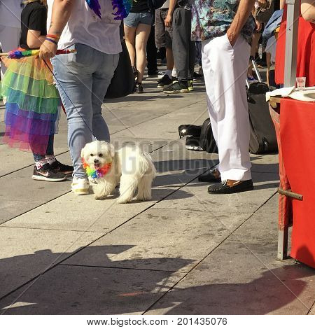 Small white dog wearing a rainbow collar as a symbol for Pride. With people around at an event. With space for text.