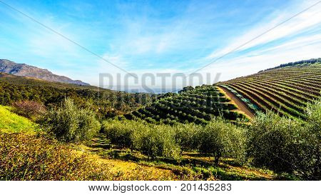 Olive groves and vineyards surrounded by mountains along the Helshoogte Road between the historic towns of Stellenbosch and Franschhoek in the wine region of Western Cape of South Africa