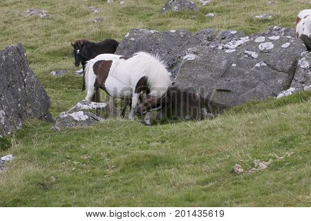 Dartmoor Pony rubbing neck on granite rock