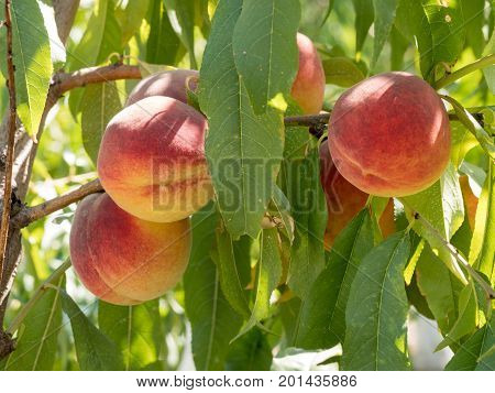 Ripe tasty peach on tree in sunny summer orchard. Pick you own fruit farm with tree ripen freestone peaches. Delicious and healthy organic nutrition. Beautiful garden with tree ripened nectarines.