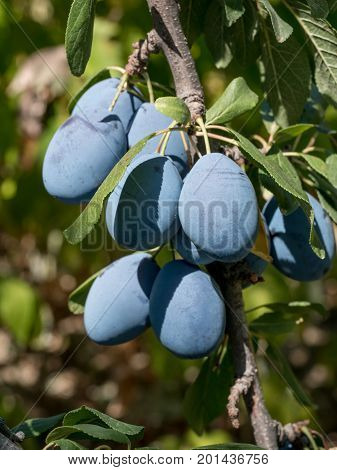 Close up of the plums ripe on branch. Ripe plums on a tree branch in the orchard. View of fresh organic fruits with green leaves on plum tree in the fruit garden.