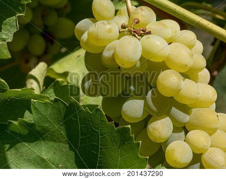 Bunches of wine grapes. Close up view of fresh sweet wine grape. Ripe grape growing at wine fields.