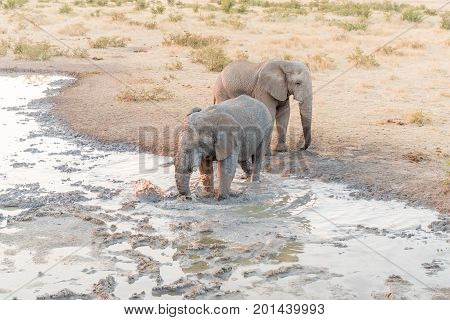 An African elephant Loxodonta africana stirring up mud in a waterhole for a mud bath in Northern Namibia at sunset