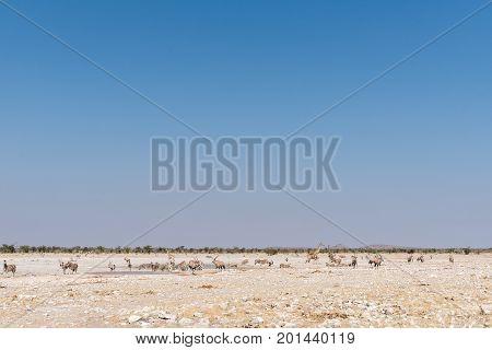 Giraffe Burchells zebras and oryx at a waterhole in North-Western Namibia