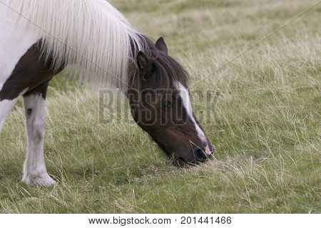 Dartmoor Pony grazing on grass on Dartmoor