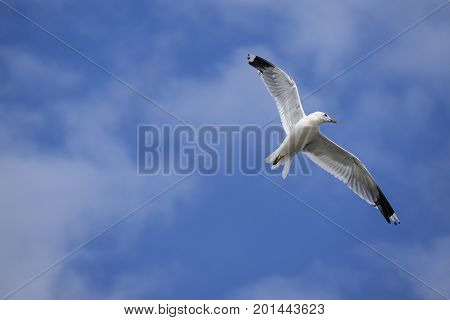 Common gull (larus canus) in flight against a blue sky with white clouds copy space
