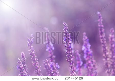 Wild flowers of sage. Violet flowers with a toned background. Selective focus.