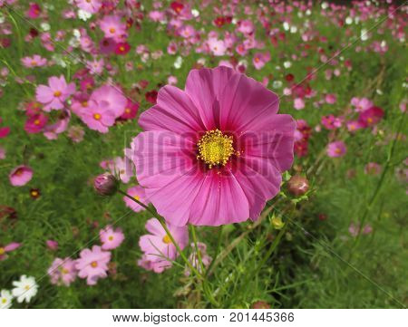 Closed up Vibrant Pink Blooming Cosmos Flower on the Cosmos Field, Thailand