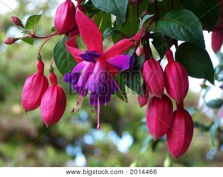 Dancing Fuchsia