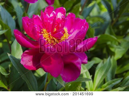 Beautiful bright colorful flower of fragrant peony with yellow stamens