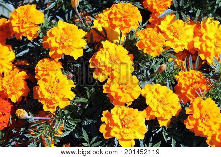 Flowerbed with Orange Mexican marigold flowers (tagetes erecta)