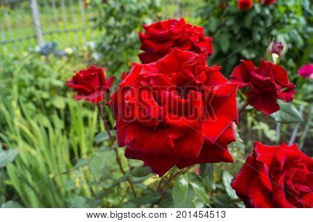 pink bush, rose, pink bud, petals, flower, bud.
