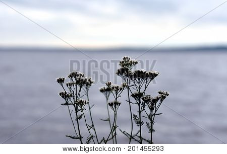 Silhouette of yarrow flowers on lake background.