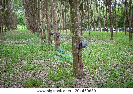 Hevea brasiliensis. Rubber trees for business in Thailand