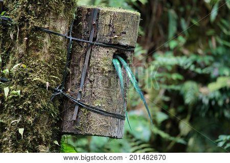Quetzal bird wild in Monteverde cloud forest reserve Costa Rica