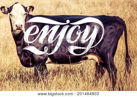 Enjoy logo on black cow with glossy skin looking straight into the camera in hot summer day. Enjoy eating meat enjoy summer concept