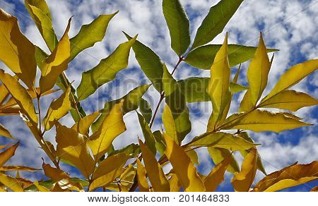 Ash-tree. Foliage of the ash-tree against the blue sky. Foliage. Yellow leaves. Autumn background. Nature background.