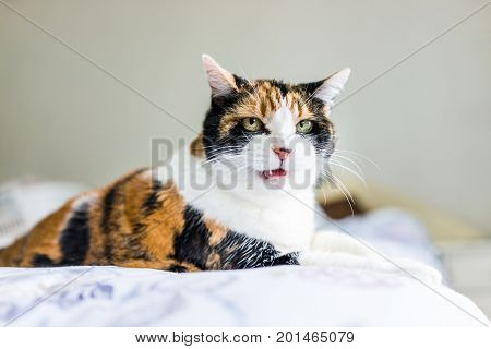 Angry Calico Cat Lying On Edge Of Bed Hissing With Mouth Open Talking