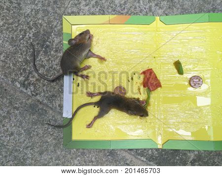 top view mice stuck on a sticker or catcher with baits