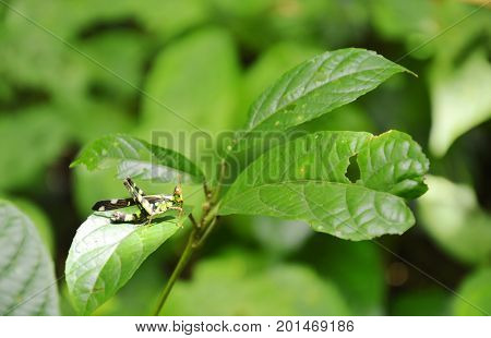 hook-tip monkey grasshopper with yellow and black color hanging leaf in wood