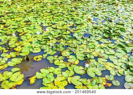 Many Blooming Bright Lily Flowers With Pads In Pond