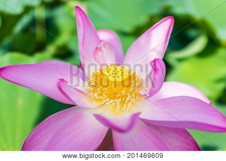 Macro closeup of bright pink lotus flower with yellow seedpod inside poster