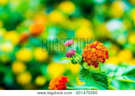 Macro Closeup Of Red And Yellow Lantana Flower Plants Showing Detail And Texture
