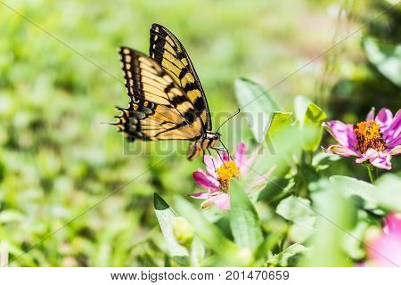 One Eastern Tiger Swallowtail Yellow Butterfly On Purple Pink Zinnia Flowers In Summer Garden Macro