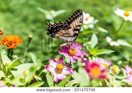One Eastern Tiger Swallowtail Yellow Butterfly On Purple Pink Zinnia Flowers In Summer Garden Macro