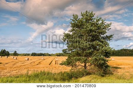 Agricultural landscape with harvested wheat and pine tree as foreground, Europe